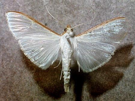 Palpita (=Margaronia) unionalis, Glifodes adulto