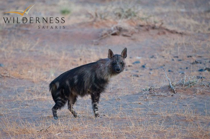 Kulala Desert Lodge - Larger predators include spotted hyaena and the occasional brown hyaena, a mystical shaggy-coated scavenger. #Safari #Africa #Namibia #WildernessSafaris