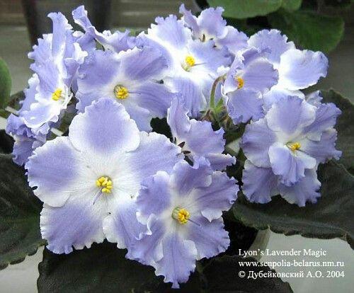 Lyon's Lavender Magic (S.Sorano).   Простые или полумахровые белые крупные волнистые звезды со светло-фиолетовыми отпечатками. Средне-зеленая стеганая листва. Крупный стандарт. (Чужое фото)