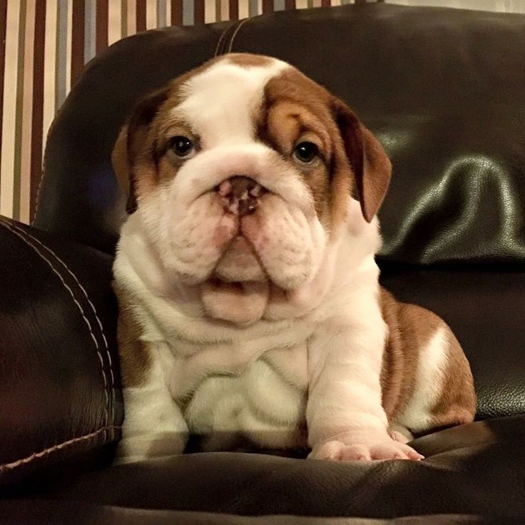 Bulldogs - http://www.mobilehomemaintenanceparts.com/dogcaresupplies.php