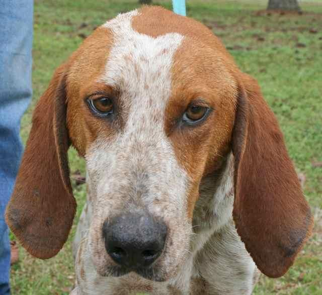 Meet Angus, an adoptable Coonhound Dog | Chipley, FL | Angus is a 1 to 2 year old male redtick coonhound mix, about 40 pounds but too thin. He's a very...
