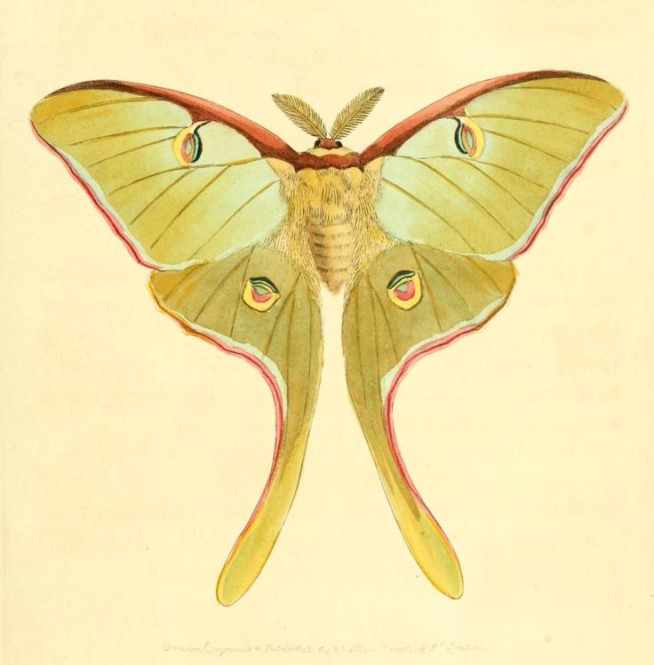 Luna moth scientific illustration - photo#7