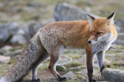 fauna / animals / fox/ lis / Babiogórski Park Narodowy (BPN) / Babia Góra  #przyroda #zwierzęta #lis #fox #animals #Babia Góra #Beskidy #BPN #Babiogórski Park Narodowy #góry #szlaki górskie #górskie wędrówki #turystyka górska #Poland #Polska #fauna