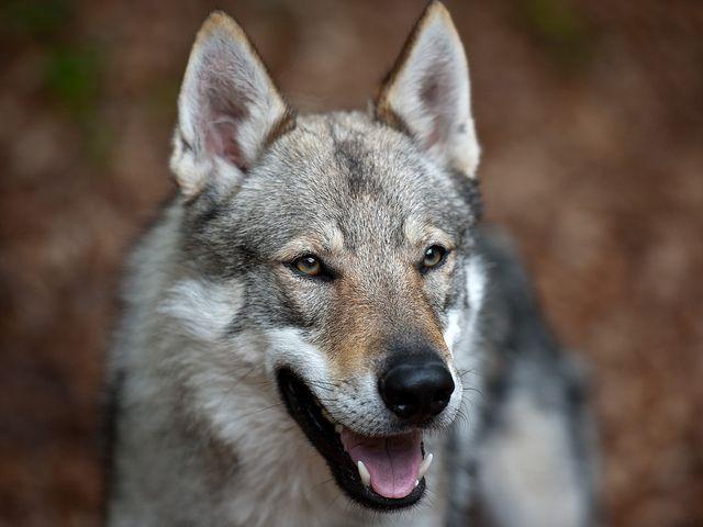 Czechoslovakian Wolf Dogs / Tschechoslowakischer Wolfshund by Sonja Pauen, via Flickr