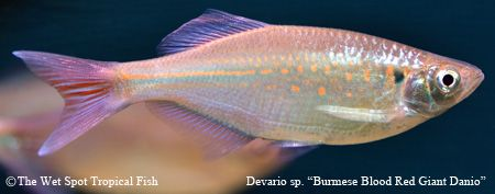 85 best images about freshwater fish cypriniformes on for Giant danio fish