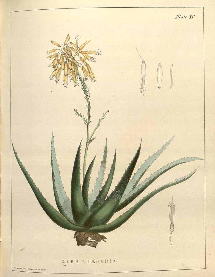 Ilustración de Aloe del libro de medicina botánica de 1847. (Dominio público)