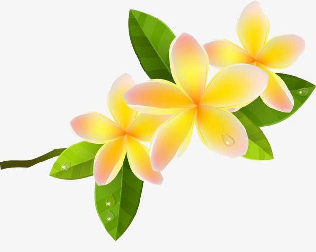 Cartoon Plumeria Picture Material Png And Clipart Fleur Frangipanier Frangipanier Fleurs
