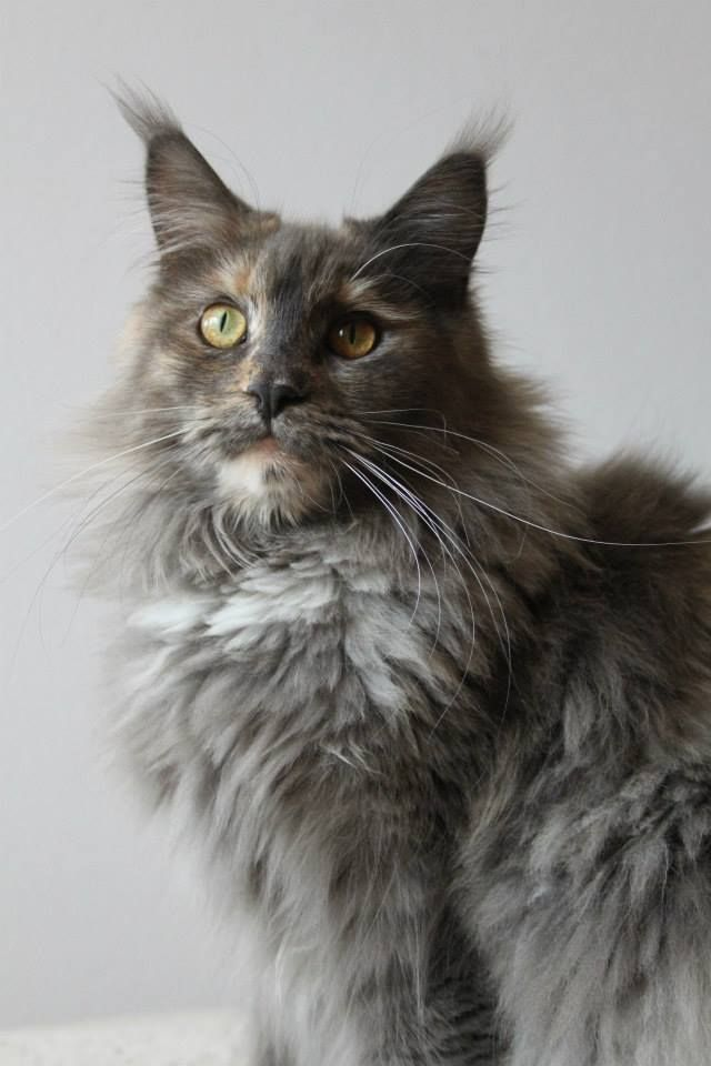 Maine Coon, Blue Torti Smoke (gs) Hoorenman's Princess Jumaana