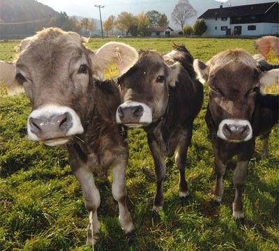 ASU für Kühe