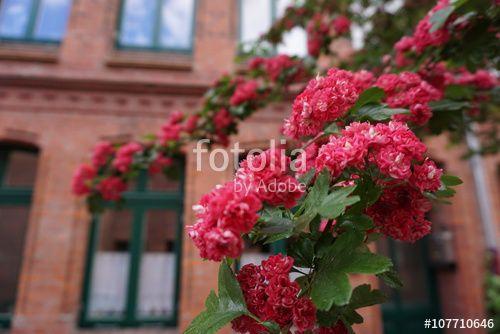 Blühender Rotdorn vor Backsteingebäude