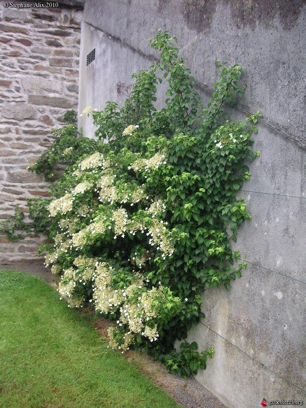 Hydrangea petiolaris - Hortensia grimpant