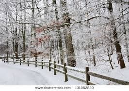 Image result for PICTURES snow laden  pine trees in winter