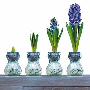 Pinterest the world s catalog of ideas - Planting hyacinths pots ...