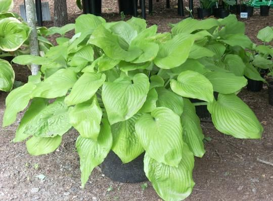 PLANTED 2015 east of back deck -- Hosta Sum and Substance - X Large Giant hosta - Hosta of the Year.