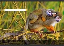 Essa mãe e esse filhote têm um nome engraçado: são chamados de macacos-de-cheiro - Michal Ninger/ShutterStock