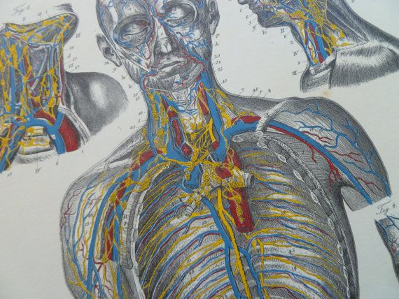 Old anatomy print of blood and lymph vessels  by DecorativePrints, €13.95