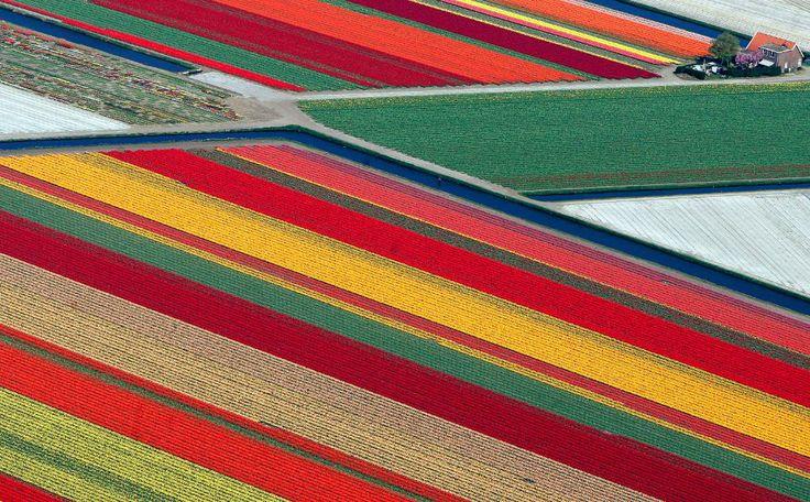 Tulppaanipellot Hollannissa