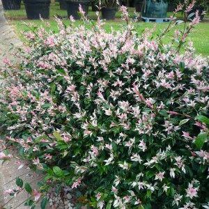 Tricolour Jasmine - Trachelospermum Tricolour