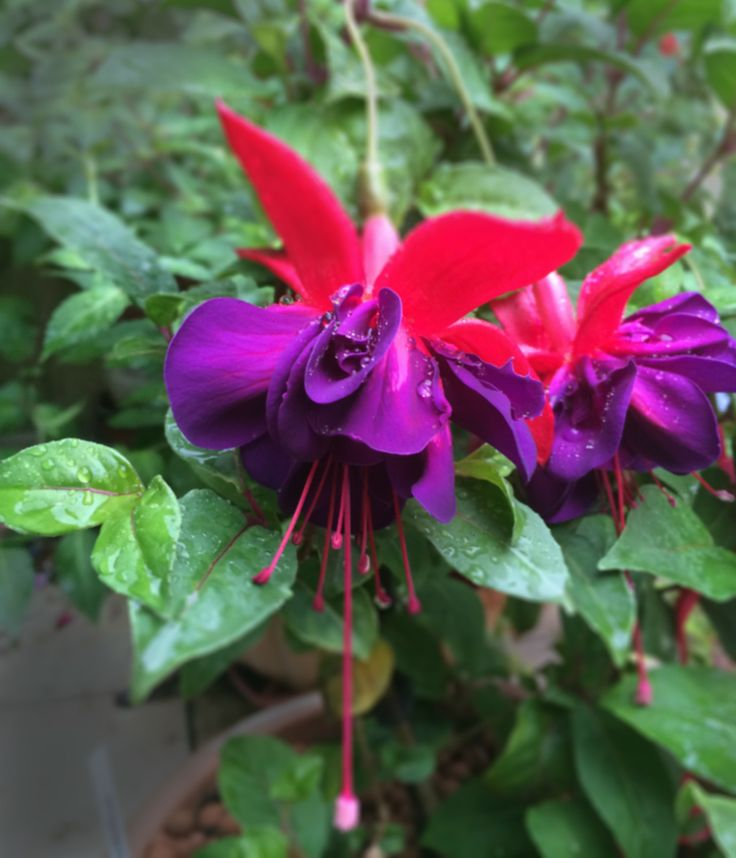 Fuchsia Maxima on my patio. It blooms from May to November. I continue to admire the huge noble flowers.