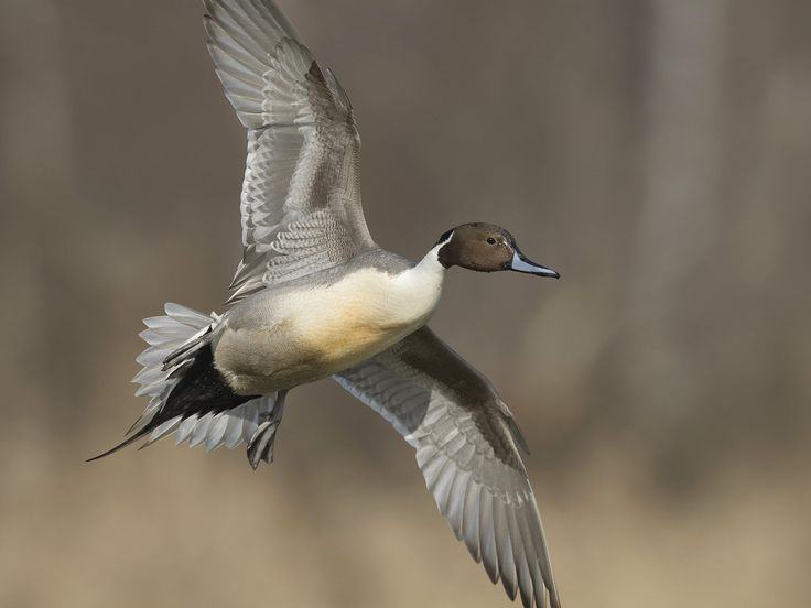 17 Best images about Pintail on Pinterest | Birds ...