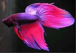 Pinker Kampffisch