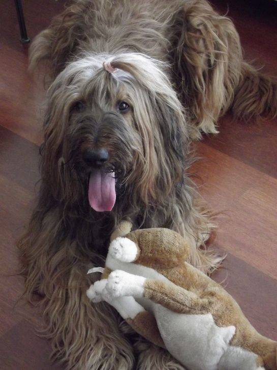 My lovely dog named Cumba. She is a briard.