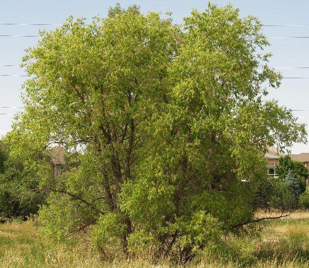Small Ornamental Trees For Kansas: Peachleaf Willow (colorado Native)