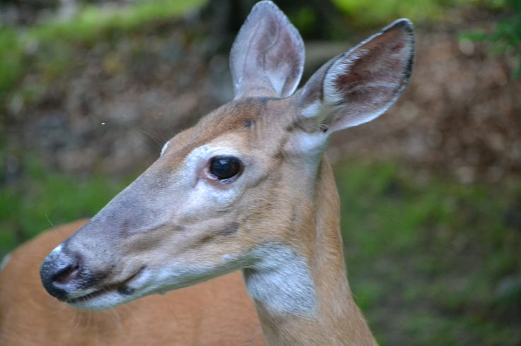A doe who's a frequent visitor