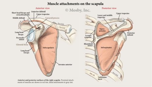 scapula diagram gallery : diagram of scapula - findchart.co