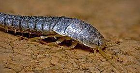 Scientificamente sono chiamati Lepsima saccharina, ma nel gergo comune sono conosciuti come vermi della polvere o pesciolini d'argento. Sono dei piccoli insetti dal corpo affusolato e argenteo, con le