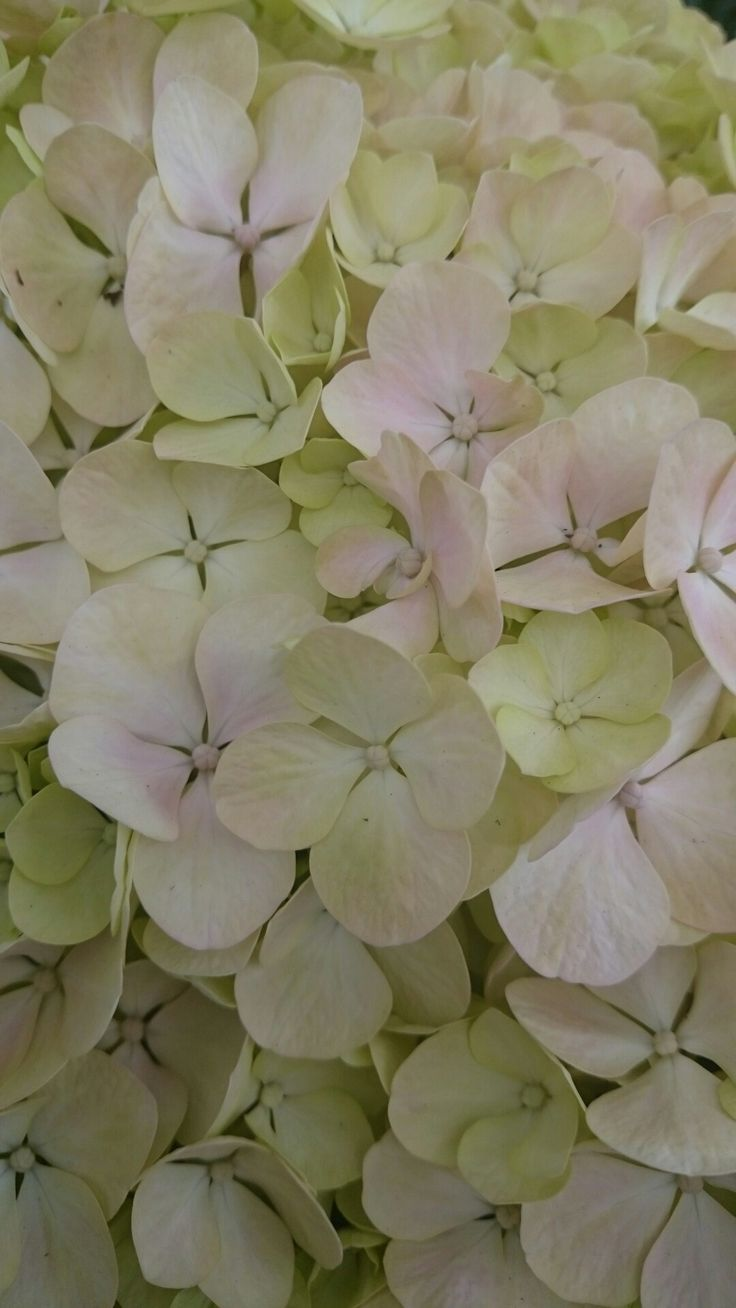 Beautiful hydrangea ©Tuuli