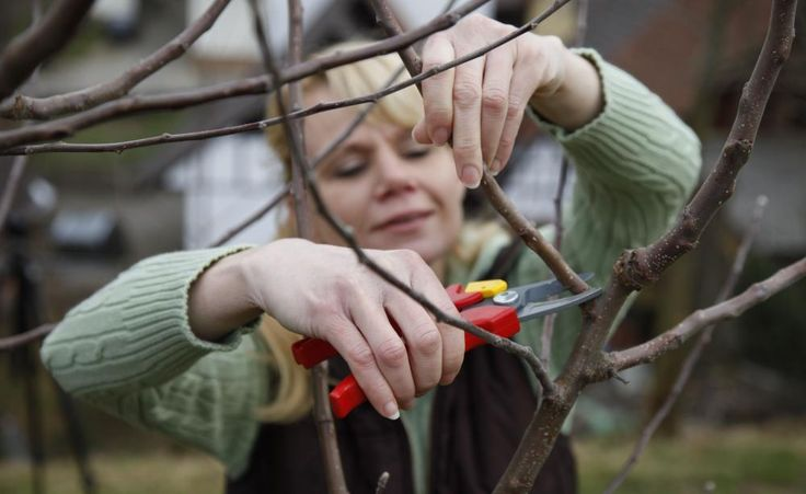 Apfelbäume richtig schneiden