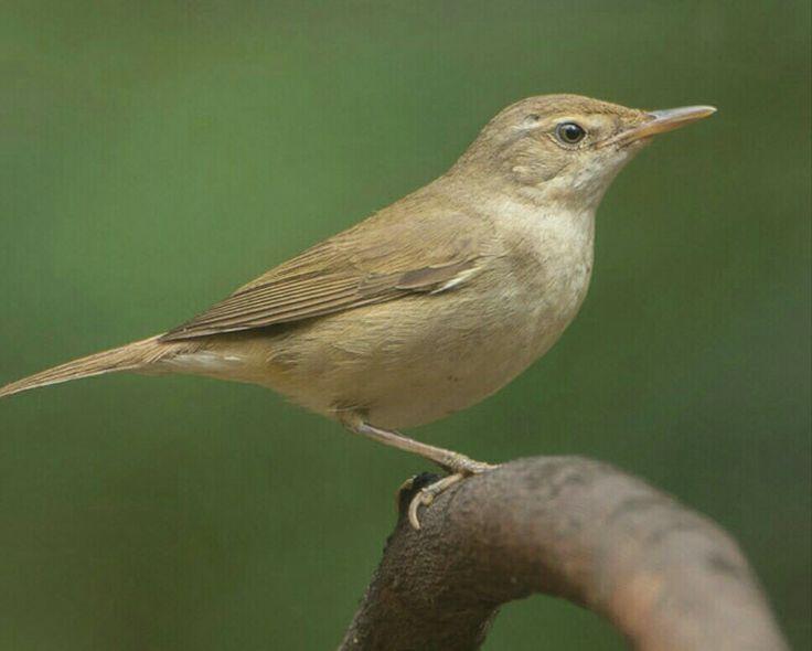 Busksanger -  Busksångare -  Acrocephalus dumetorum - er en fugl i sangerfamilien.