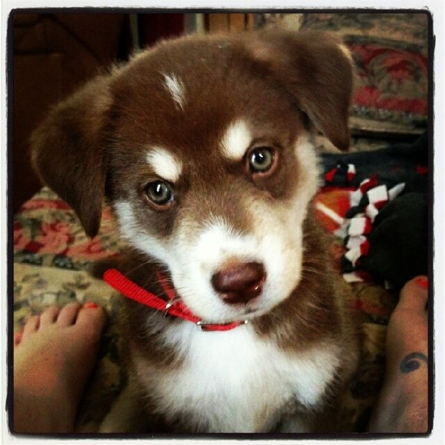chocolate lab husky mix - could this be any cuter?