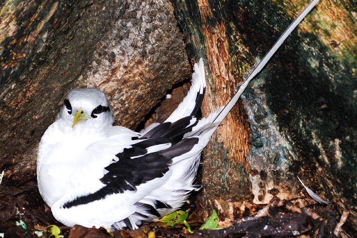 L'Oiseau paille en queue : Les Seychelles, un rêve au bout du monde - Linternaute