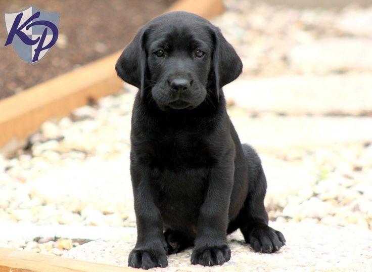 Solomon – Labrador Retriever – Black Puppy | My weakness ...
