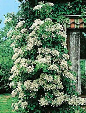 Piante ombra - Ortensia Rampicante, piante rampicanti Meilland