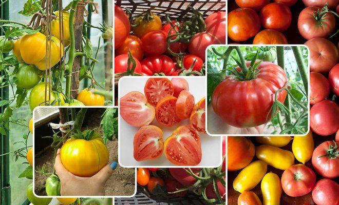 : Сорта томатов