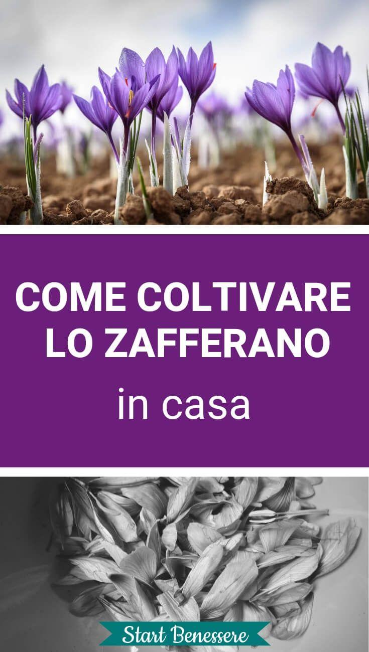 Coltivare Fiori.Come Coltivare Lo Zafferano In Casa Curiosita Coltivare Fiori