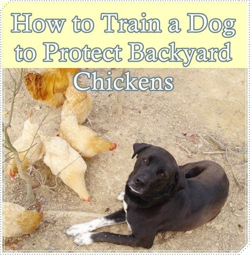 "How to Train a Dog to Protect Backyard Chickens Homesteading  - The Homestead Survival .Com     ""Please Share This Pin"""