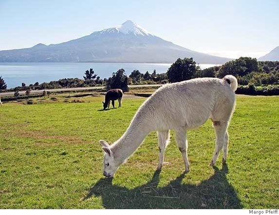 Osorno Volcano, Lake Llanquihue, and grazing llamas near Puerto Varas