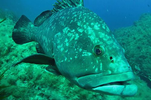 Grouper fish - Plongée à Port Cros