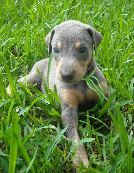 Blue Doberman: Just let this little baby sink in.   ...........click here to find out more     http://kok.googydog.com