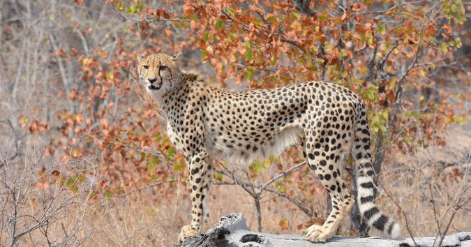 The Greater Kruger National Park in South Africa will almost certainly provide an extraordinary sighting during any particular safari, and guests of Senalala in Klaserie Private Nature Reserve were very fortunate to experience an extraordinary sighting of their own in the form of two cheetahs. #grasstracksafaris