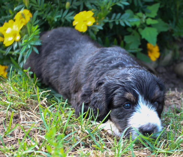 Annie Bernedoodle Puppers Near Fort Wayne Indiana For Sale