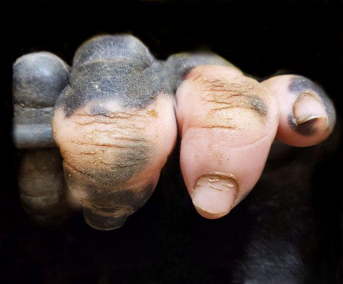 A Gorilla Born With A Lack Of Pigmentation On Her Fingers Surprises People Atlanta Zoo Gorilla Vitiligo