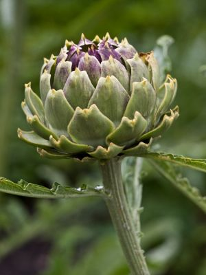 Globe Artichoke Leaf Benefits
