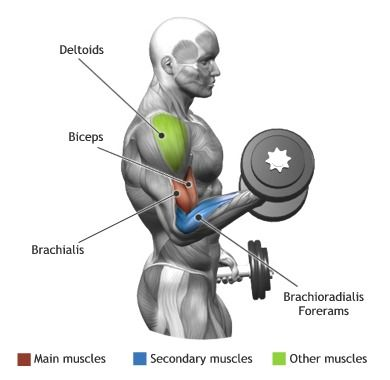 BICEPS -  STANDING DUMBBELL ALTERNATE BICEP CURL http://www.weightlossjumpstars.com/category/exercise/