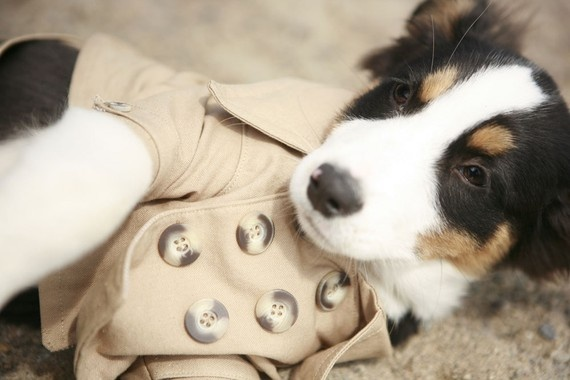 Dog in a jacket....: Cute Coats, Dogs Coats, Cute Little Puppys, Wester Trench, Pet Fashion, Doggies, Baby Dogs, Trench Coats, Cute Dogs