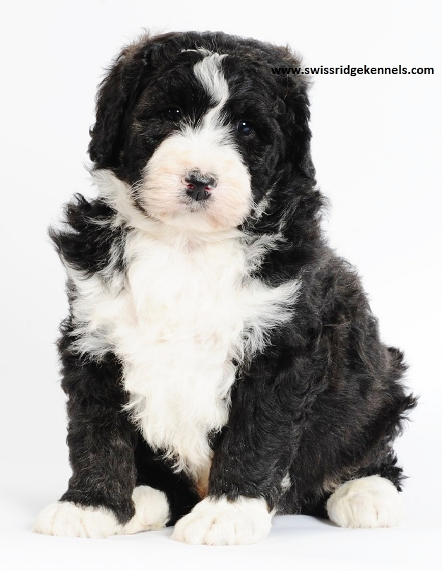 Bernedoodle puppy! This boy is huge! Only 7 weeks and